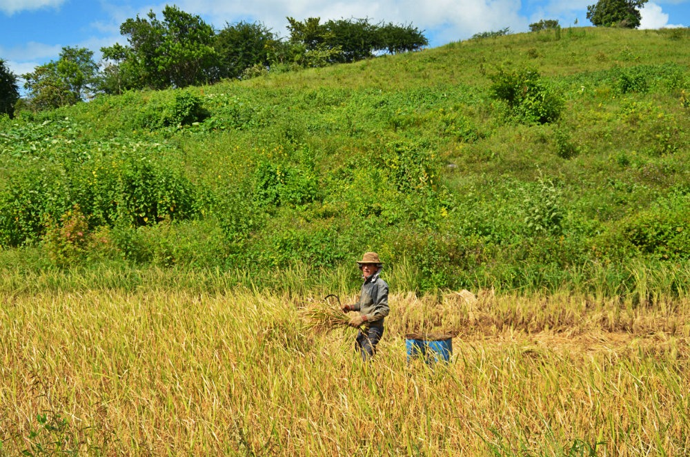 recolte de riz à Viñales 1