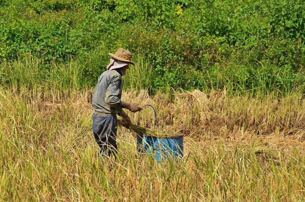 recolte de riz à Viñales